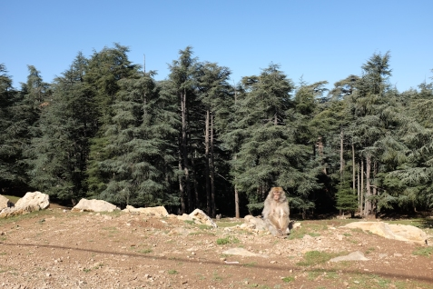 The berber monkeys in the Ifrane Midelt.